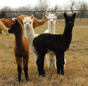 group of cria