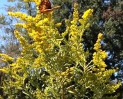 dyeing with wild Goldenrod